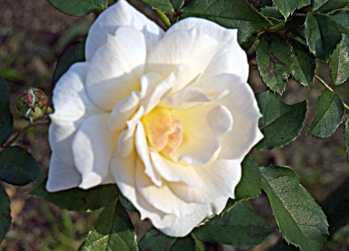 白い綺麗なバラの拡大写真