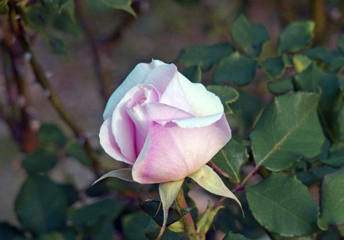 ピンク色の綺麗なバラの花の拡大写真