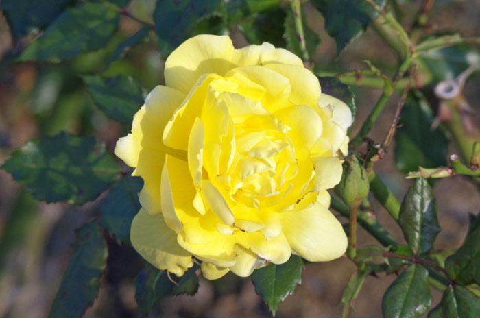 黄色の綺麗な薔薇(バラ)の花の拡大写真