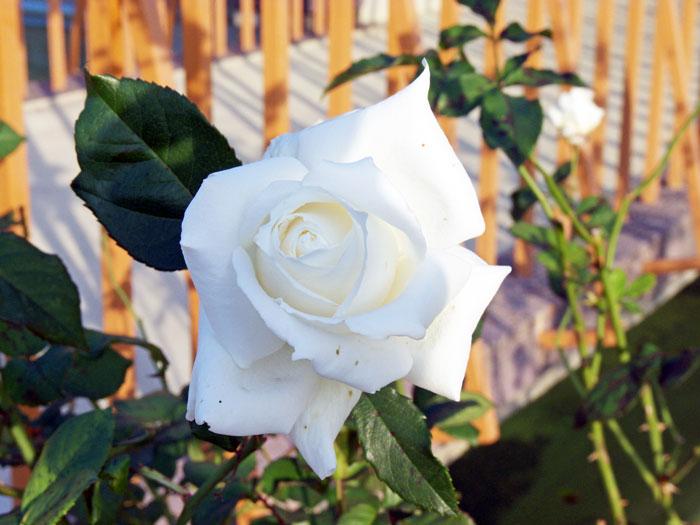 綺麗な白い薔薇(バラ)の花の拡大写真