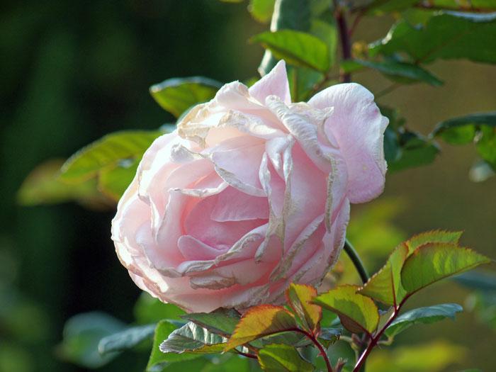 ピンク色の綺麗に咲いたバラの拡大写真