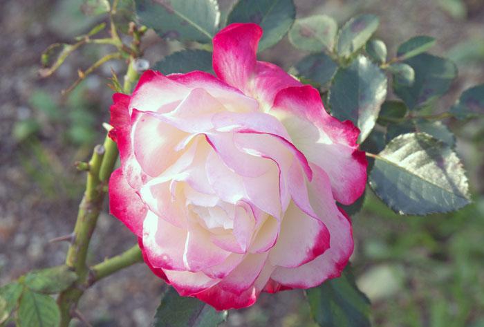 ピンクと白の薔薇の拡大写真