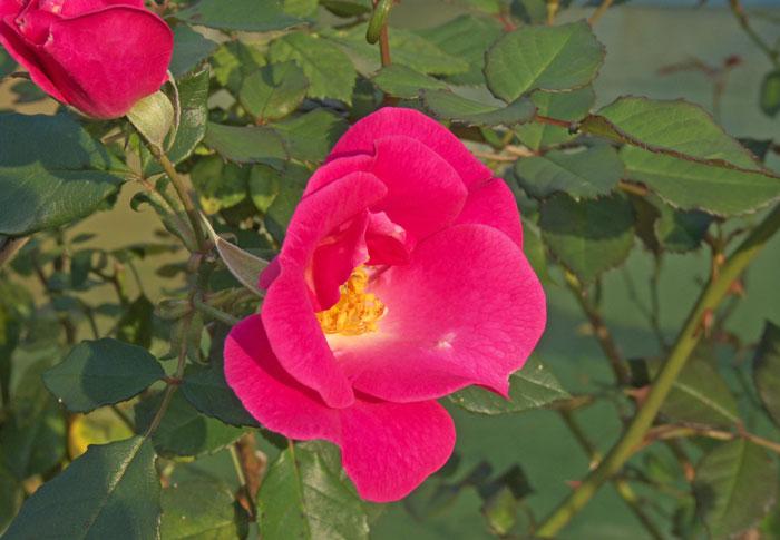 きれいなピンクの薔薇(バラ)の花と緑の葉の拡大写真