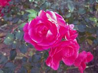 ピンクの薔薇と緑の葉