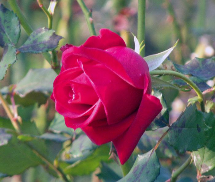 赤いきれいな薔薇(バラ)の拡大写真