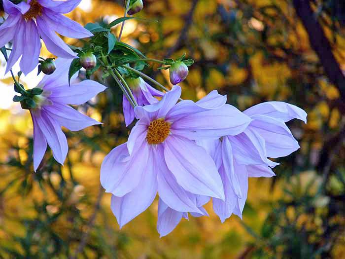 白とピンクの綺麗な花と銀杏の背景の拡大写真