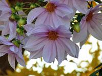 白とピンクの綺麗な沢山の花・皇帝ダリアと黄色と白の光のコントラスト