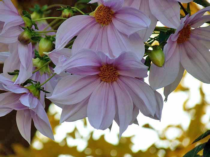 白とピンクの綺麗な沢山の花・皇帝ダリアと黄色と白の光のコントラストの拡大写真