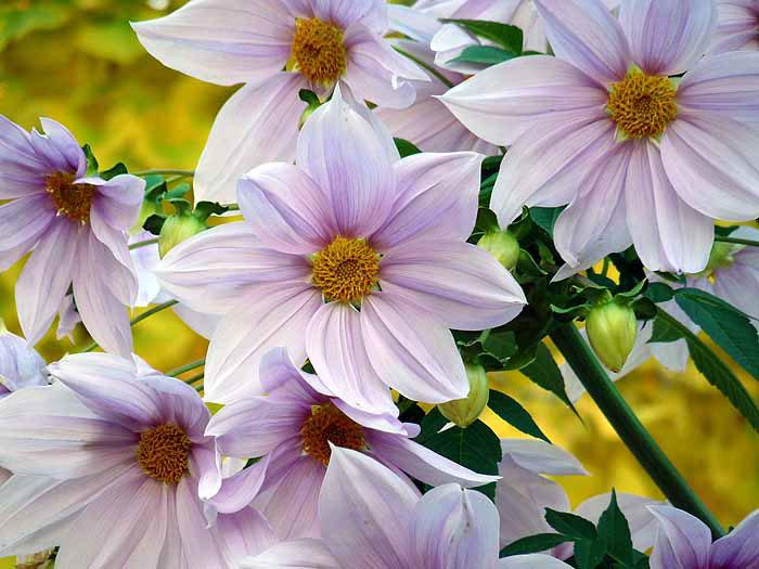綺麗な白とピンクの花と黄色の背景の拡大写真