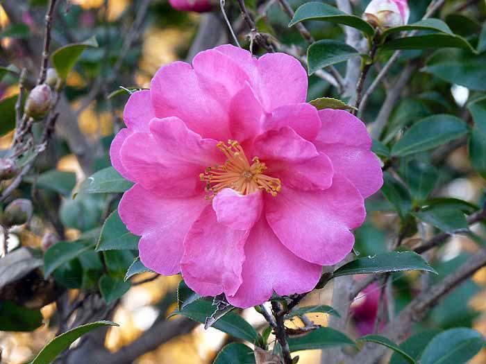 ディープピンクの山茶花(さざんか)と緑の背景の拡大写真
