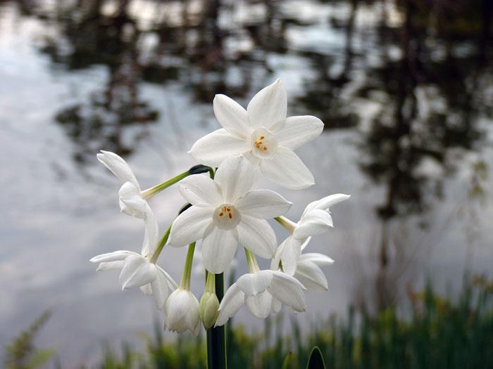 水辺に咲いた綺麗な白い花の拡大写真