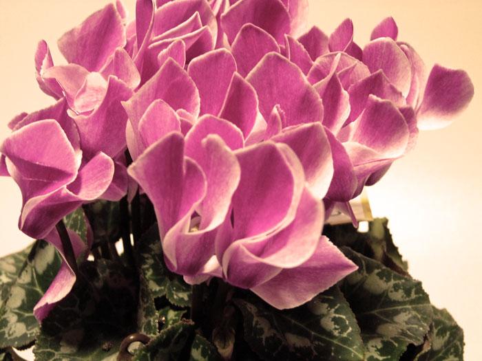 アーティスティックなシクラメンの花の拡大写真