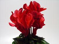 真赤な花びらのシクラメン