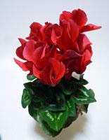 上から撮影した赤い花びらのシクラメン