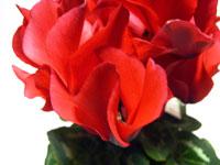 見事に赤く咲いたシクラメン(拡大)