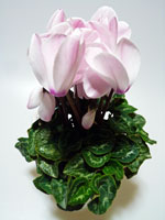 白みがかったピンクの花びらのシクラメン