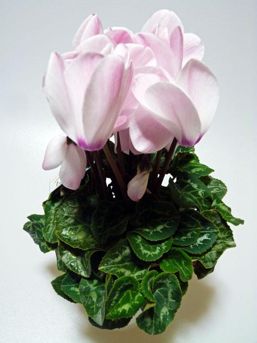 白みがかったピンクの花びらのシクラメンの拡大写真