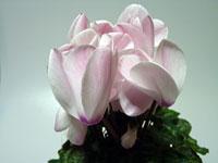 白くピンクの花びらのシクラメン