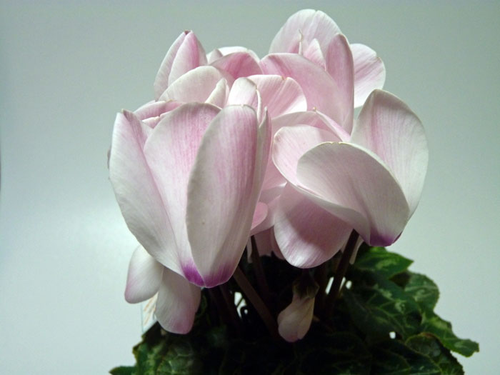 白くピンクの花びらのシクラメンの拡大写真