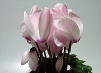 ピンクと白のシクラメン