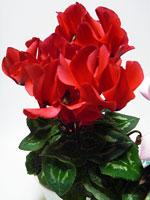 上から撮影した赤い花びらのシクラメンその2
