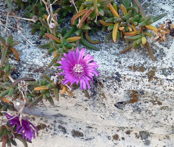 12月冬に咲いた紫の野花(ディモルフォテカ?)の拡大写真