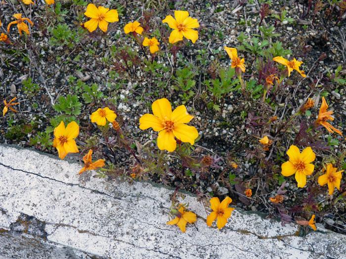 コンクリートの隙間に咲く黄色い野花の拡大写真