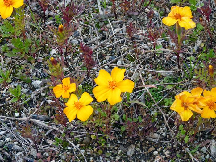 12月の冬に咲いた黄色い花(ウインターコスモス?)の拡大写真