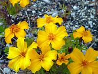 12月冬に咲いたたくさんの黄色い花(ウインターコスモス?)