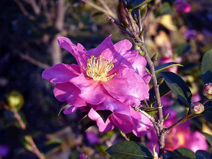 冬に咲くピンク色の山茶花(さざんか)の拡大写真