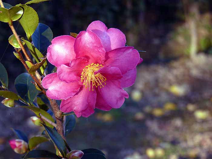 冬に咲くピンクの花・山茶花(さざんか)の拡大写真