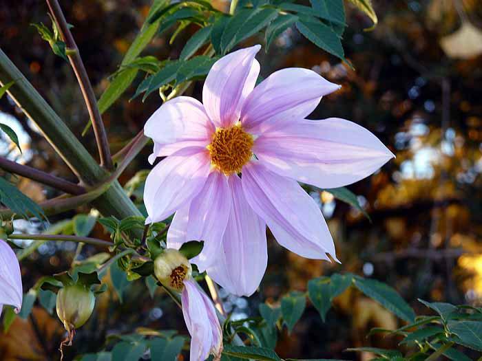 白とピンクの綺麗な皇帝ダリアの拡大写真