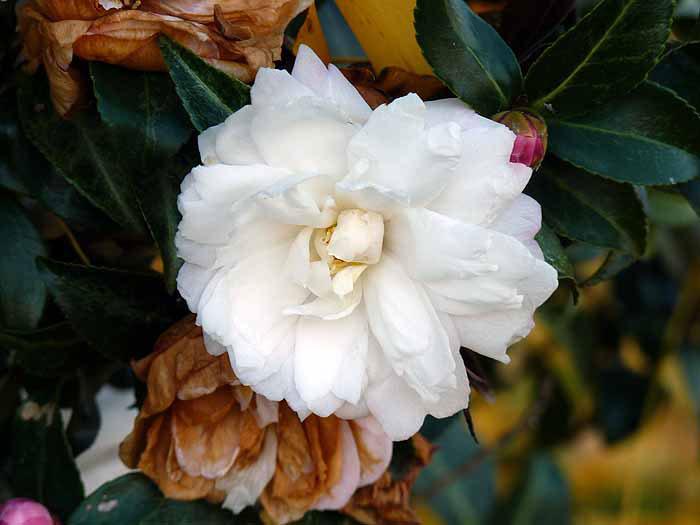 白い花の拡大写真