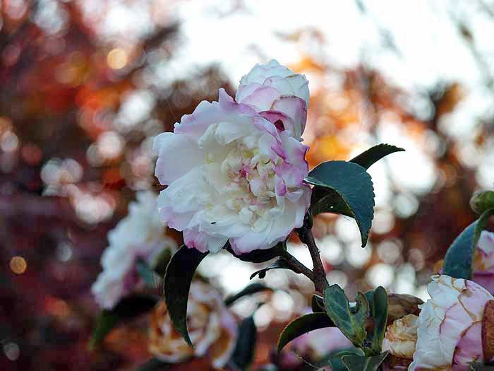 白とピンクのまだらの花と紅色の背景の拡大写真