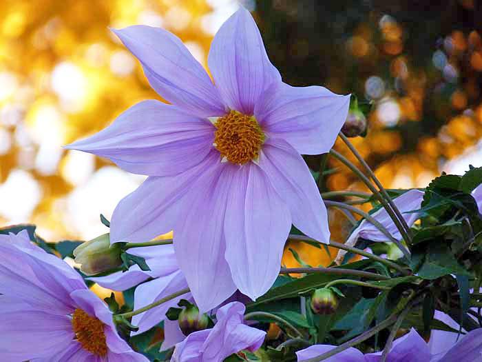 白とピンクの綺麗な花の皇帝ダリアと黄色の背景の拡大写真