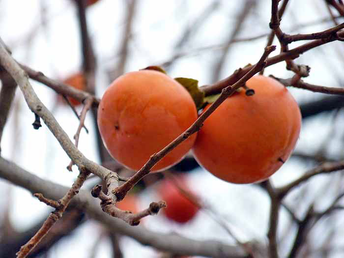 柿(ヤマガキ・冬)の拡大写真