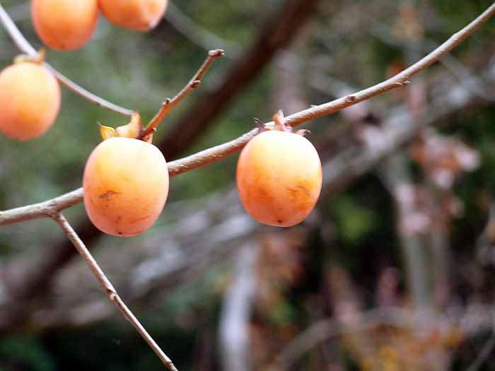 柿(ヤマガキ2個・冬)の拡大写真