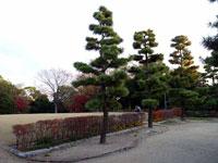 大きな松の木と公園
