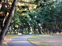 カーブした散歩道と松の木々