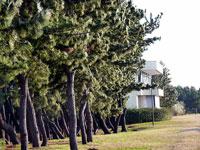 たくさんの松の木と芝生