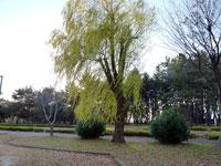 散歩道と柳の木
