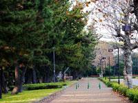 歩道とたくさんの松の木