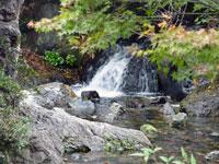 自然の滝と小川とモミジ