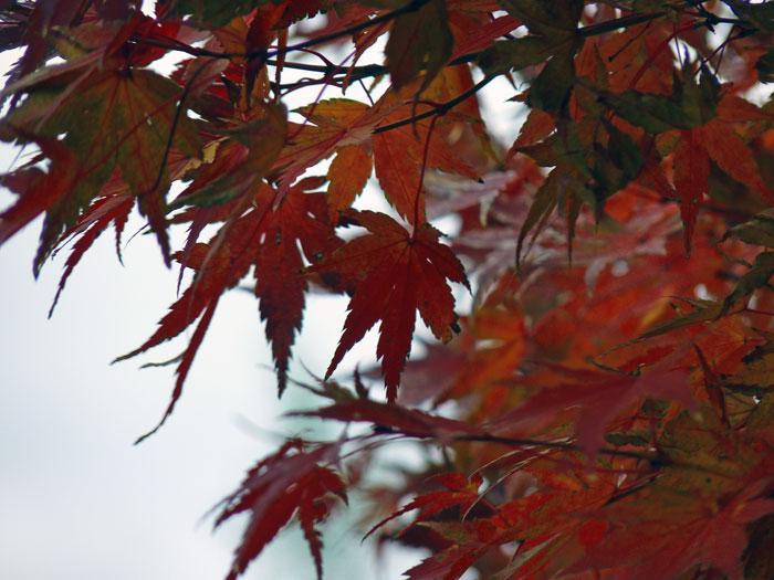 秋の紅葉(もみじ)の拡大写真