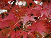 紅葉(もみじ)と秋の景色