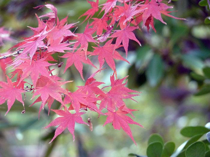 きれいな紅葉(モミジ)と緑の拡大写真