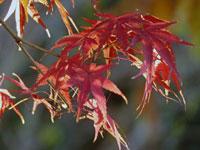 日の光と綺麗な赤い紅葉(もみじ)