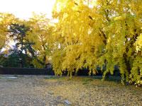 黄色く色づいた綺麗なイチョウの木の風景