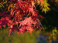 日の光と秋の紅葉(もみじ)
