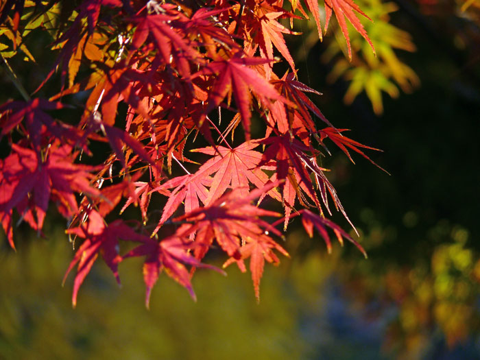 日の光と秋の紅葉(もみじ)の拡大写真
